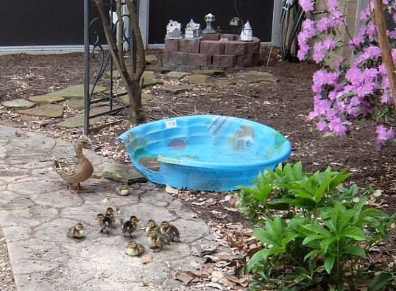 Hilton Ducks 2